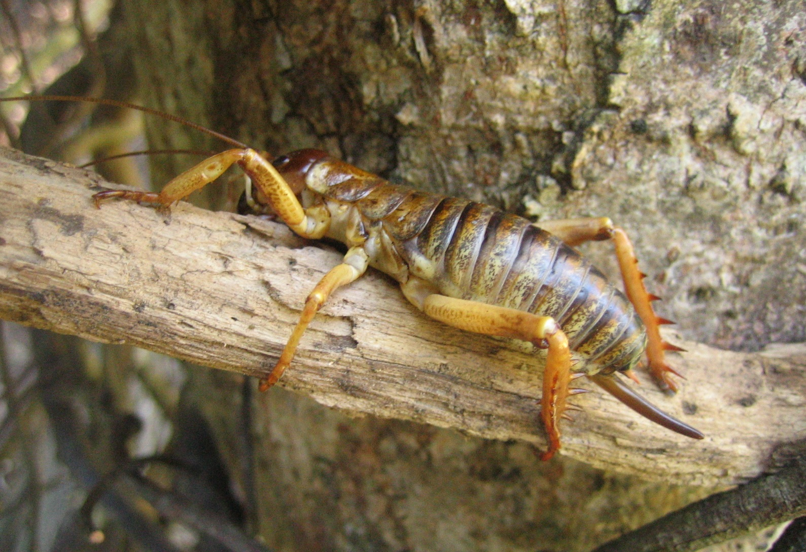 Banks Peninsula Tree Weta